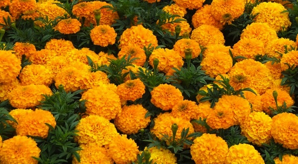 indian_wedding_flowers_marigolds