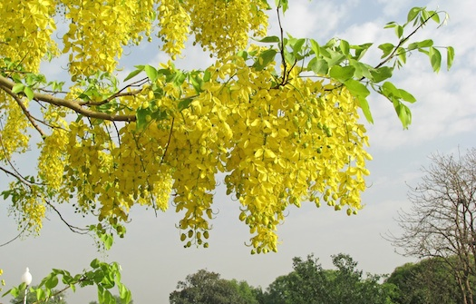 Cassia Fistula at Indian wedding